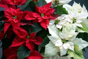 poinsettias-gettyimages-172203786-58da65875f9b58468308cab0
